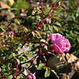 DA Huntington Rose bud opening