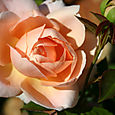 DA Ambridge First Bloom April 07