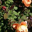 DA Lady Emma Hamilton multiple blooms