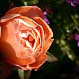 DA Lady Emma Hamilton bloom w dew