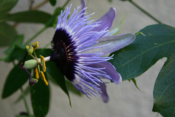 Passionflower-side-view