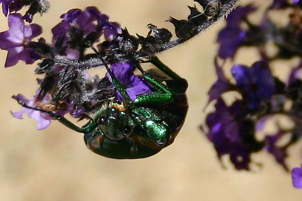 Beetle-closeup-1