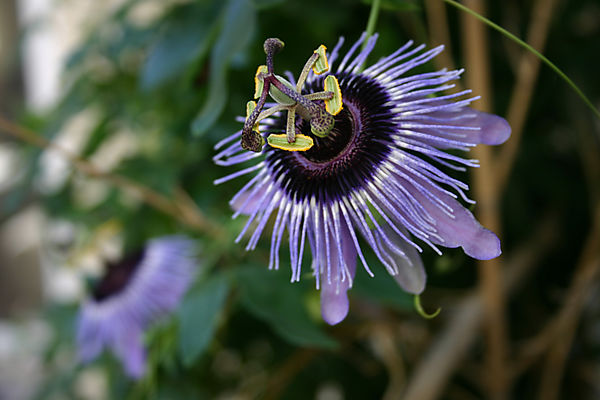 Passionflower-1