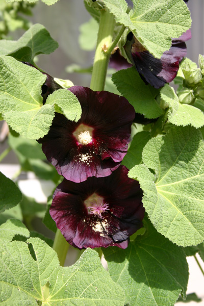 Not-really-black-hollyhocks