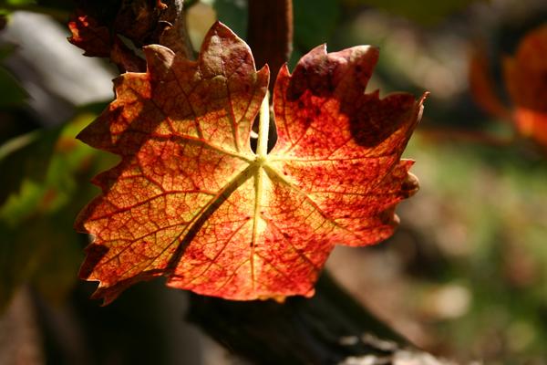 Grape-leaf