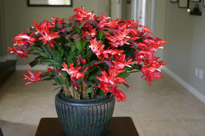 Christmas-cactus-for-thansg