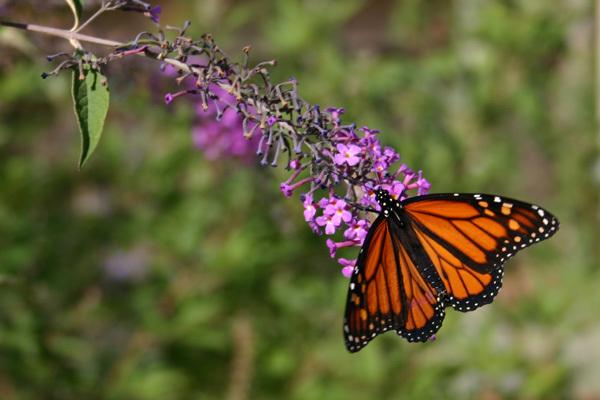 Butterflyknitting041