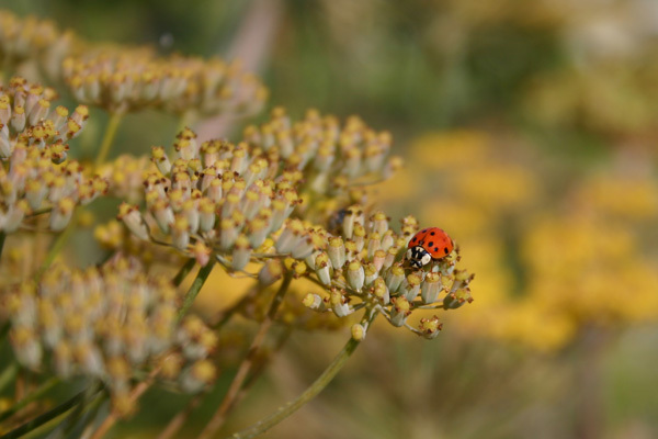 Ladybug_2