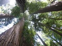 Redwoods_1